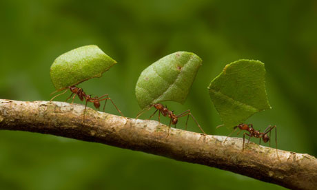 Image result for leaf cutter ants