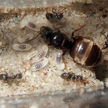 L Niger Is Found In Open Areas While Platythorax Forest Habitats1 It Monogynous Meaning Colonies Have A Single Queen