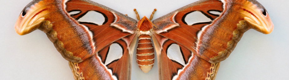 Atlas Moths Elegant Entomology